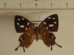 Sarota chrysus chrysus mâle