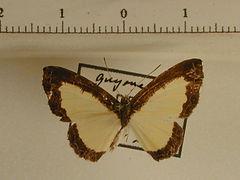 Nymphidium sp2 mâle