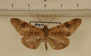 Macrosoma nigrimacula mâle