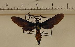 Macrocneme lades mâle