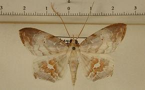 Macrodes columbalis mâle