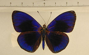 Asterope sapphyra mâle