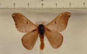 Hylesia teratex mâle