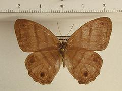 Magneuptychia opima sheba mâle