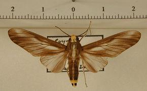 Robinsonia morula mâle