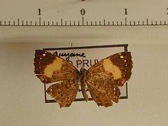Calospila emylius emylius mâle