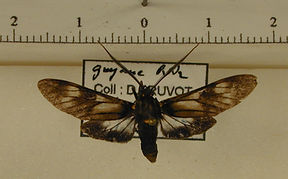 Heliura umbrimacula mâle