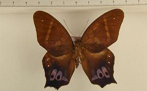 Antirrhaea philoctetes mâle