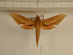 Xylophanes loelia mâle