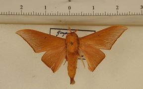 Cicinnus madenus mâle