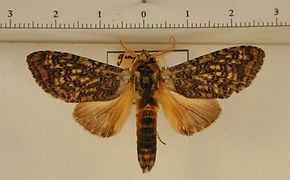 Amaricampa manana mâle