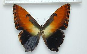 Morpho hecuba hecuba femelle