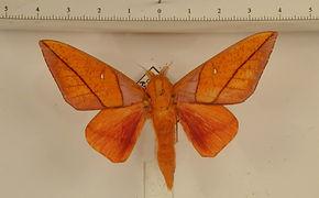 Adeloneivaia cayennsis mâle