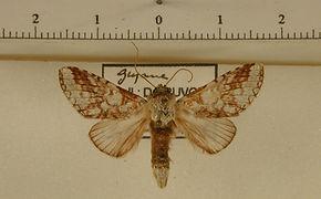 Sericochroa arimata reticula mâle
