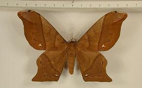 Arsenura armida armida mâle