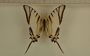 Protesilaus molops hetaerius mâle