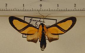 Xanthoarctia pseudameoides mâle