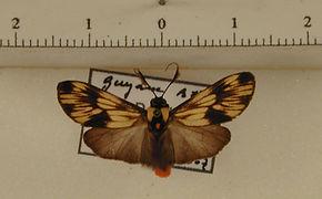 Ardonea peculiaris mâle