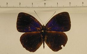Eunica amelia amelia mâle