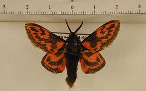 Edebssa nigrorufa mâle