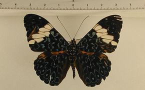 Hamadryas arinome arinome mâle