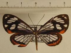 Stalachtis phaedusa zephyritis mâle