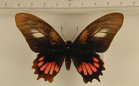 Mimoides ariarathes ariarathes femelle