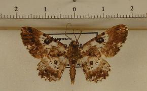 Iridopsis validaria mâle