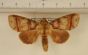 Eragisa antarorum mâle
