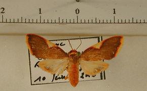 Trichromia ockendeni mâle