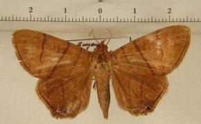 Dyomyx inferior mâle
