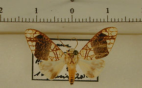 Tessella leucomelas mâle