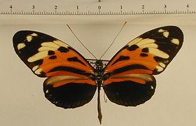 Heliconius ethilla cephallenia mâle
