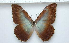 Morpho telemachus telemachus mâle