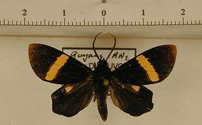 Phavaraea rectangularis mâle
