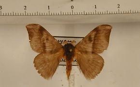 Hylesia rex mâle