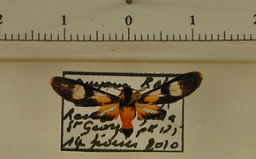 Trichromia syntomoides mâle