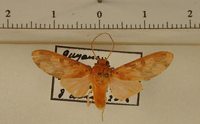 Phaeomolis polystria mâle