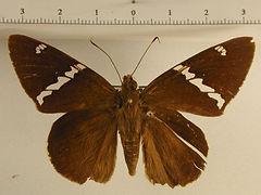 Nascus broteas mâle