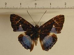 Thisbe molela mâle