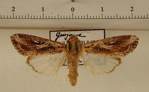 Spodoptera dolichos mâle
