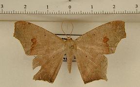 Euclysia dentifasciata mâle