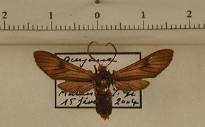 Saurita cassandra mâle