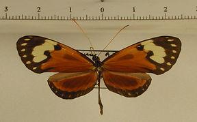Garsauritis xanthostola xanthostola mâle