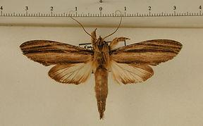 Nystalea lineiplana mâle