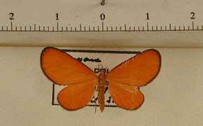 Eudulophasia invaria mâle