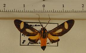 Glaucostola maroniensis mâle