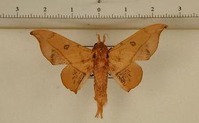 Cicinnus marona mâle
