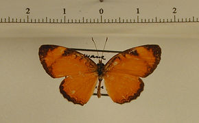 Tegosa fragilis mâle