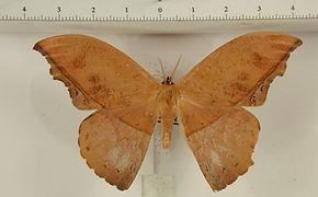 Oxytenis naemia aravaca mâle